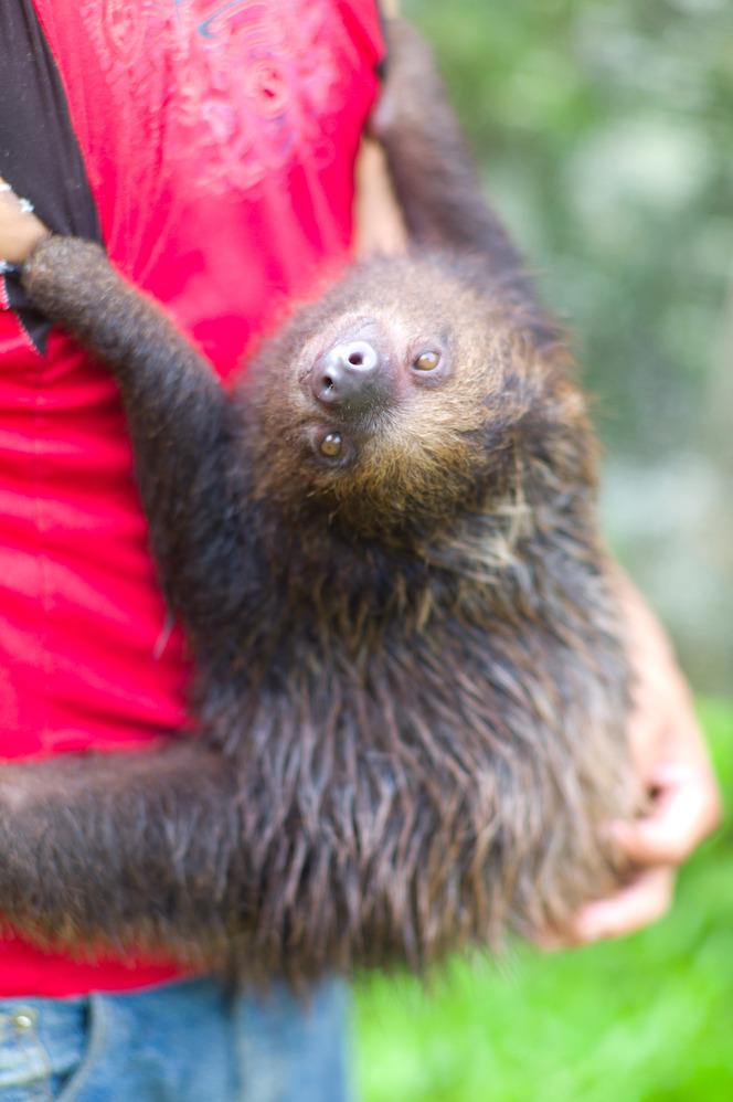 Sloth aka <em>perezoso.</em>