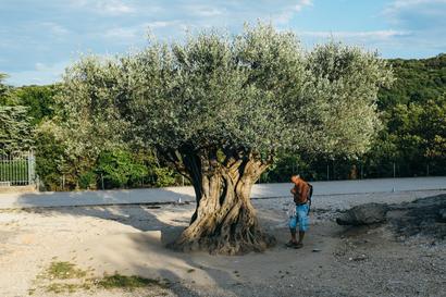 languedoc, Languedoc, Pont du Gard, Roman, olive tree